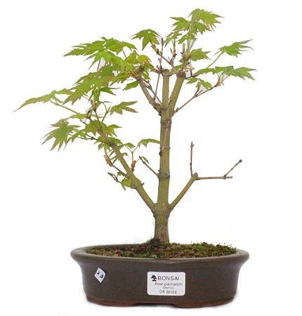 Bonsai de Acer Palmatum 4 Anos ( 25cm)