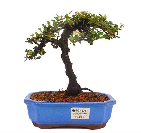Bonsai de Cotoneaster Apiculata - 5 anos ( 22 cm )