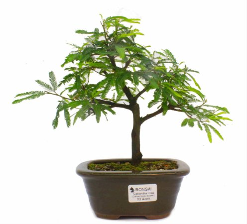 Bonsai de Calliandra Rosa 3 Anos ( 24 cm )