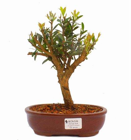Bonsai de Cereja Anã (silvestre) 5 anos (25 cm )