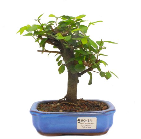 Bonsai de Grewia Occidentalis (Flor de Lótus) 4 anos (21 cm)