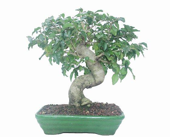 Bonsai de Ligustrinho 12 anos (40cm)