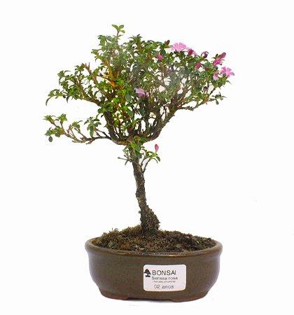 Serissa Rosa (Phoetida)  2 anos ( 23 cm) Florescendo