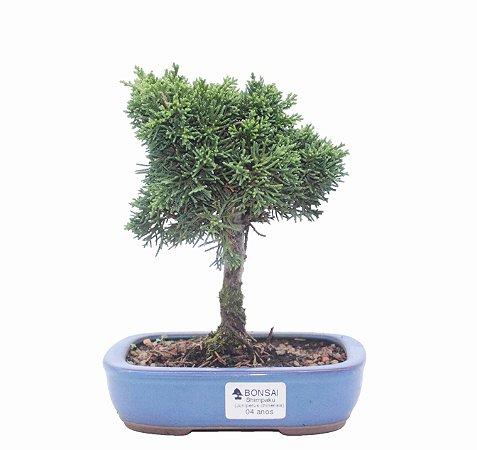 Bonsai de Junípero Shimpaku 4 anos (22 cm)