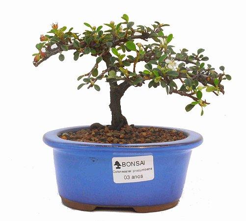 Bonsai de Cotoneaster Apiculata - 3 anos ( 15 cm )