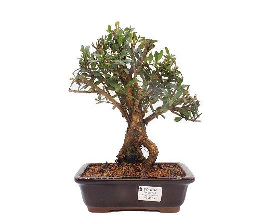 Bonsai de Cereja Anã (silvestre) 6 anos (26 cm )