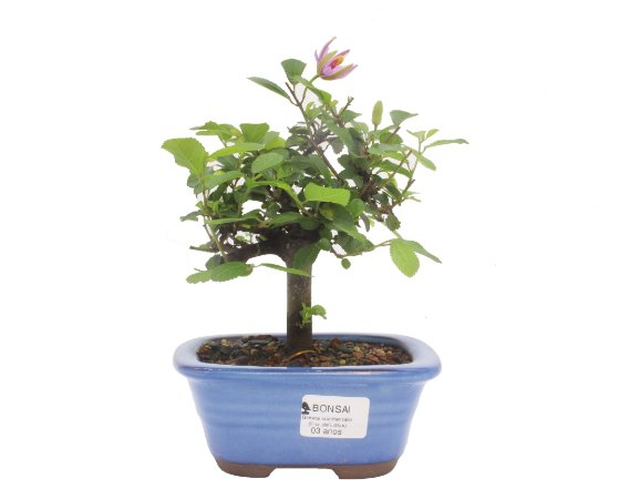 Bonsai de Grewia Occidentalis (Flor de Lótus) 3 anos (23 cm)