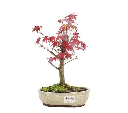 Bonsai de Acer Palmatum 2 Anos ( 27cm)