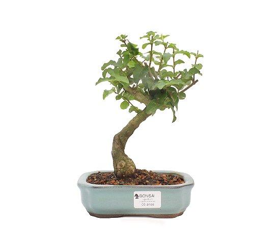 Bonsai de Ligustrinho 5 anos (24cm)