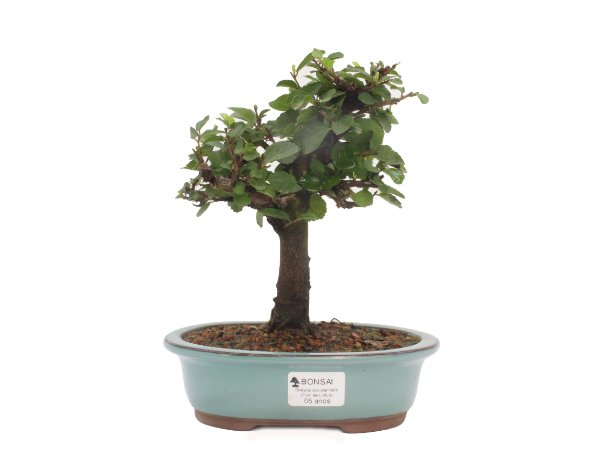 Bonsai de Grewia Occidentalis (Flor de Lótus) 5 anos (24 cm)
