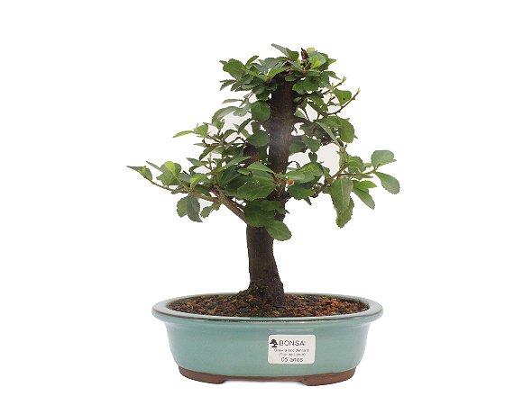 Bonsai de Grewia Occidentalis (Flor de Lótus) 5 anos (25 cm)
