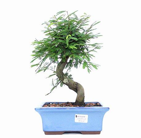 Bonsai de Calliandra Rosa 7 Anos ( 30 cm )