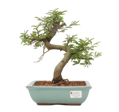 Bonsai de Calliandra Rosa 7 Anos ( 30 cm )