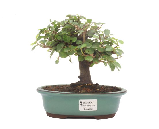Bonsai de Grewia Occidentalis (Flor de Lótus) 5 anos (20 cm)
