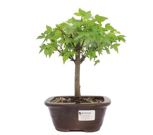 Bonsai de Acer Kaede 3 Anos ( 26cm)