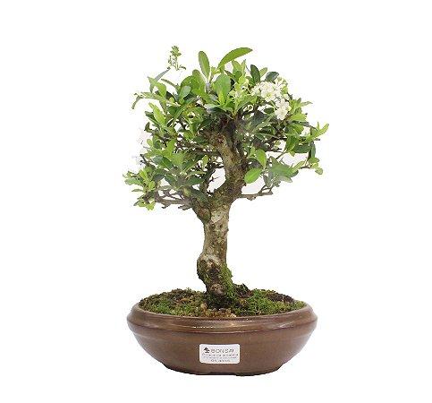 Bonsai de Piracanta Amarela - 5 anos ( 30 cm)