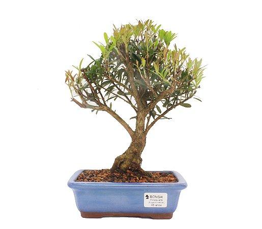 Bonsai de Cereja Anã (silvestre) 6 anos (29 cm )