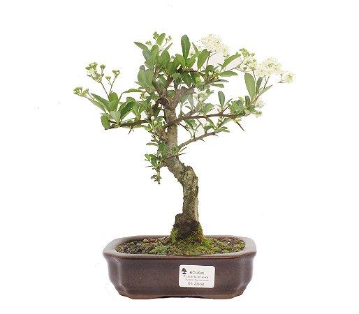 Bonsai de Piracanta Amarela 4 anos ( 25 cm)