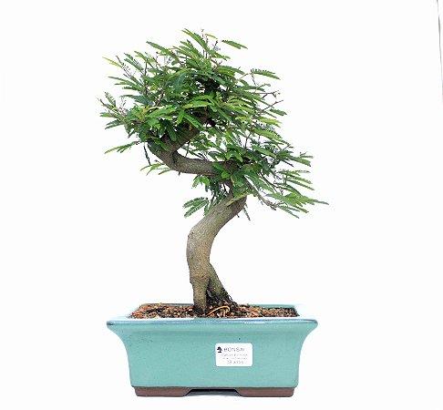Bonsai de Calliandra Rosa 8 Anos ( 35 cm )