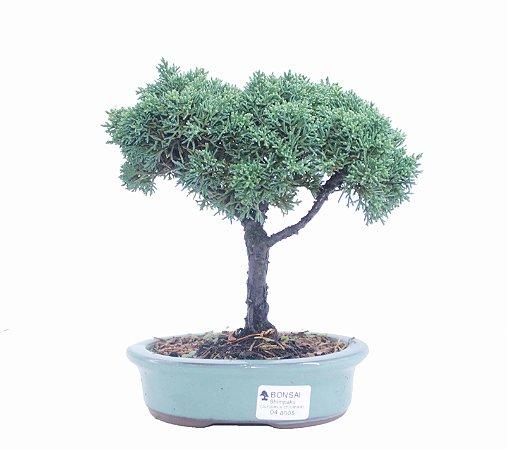 Bonsai de Junípero Shimpaku 4 anos (23 cm)