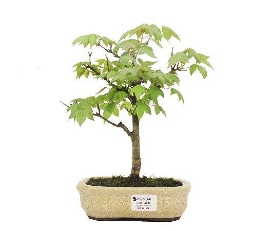 Bonsai de Acer Kaede 4 Anos ( 28cm)