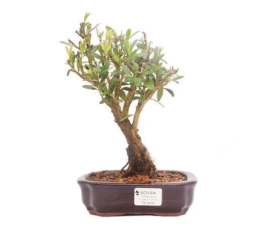Bonsai de Cereja Anã (silvestre) 4 anos (25 cm )