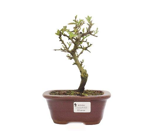 Bonsai de Piracanta Amarela - 3 anos ( 23 cm)