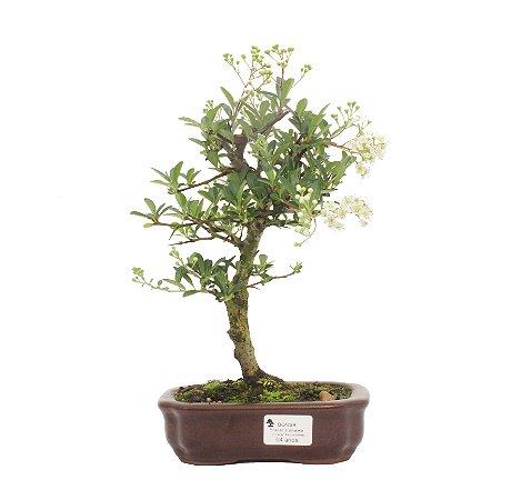 Bonsai de Piracanta Amarela - 4 anos ( 26 cm)