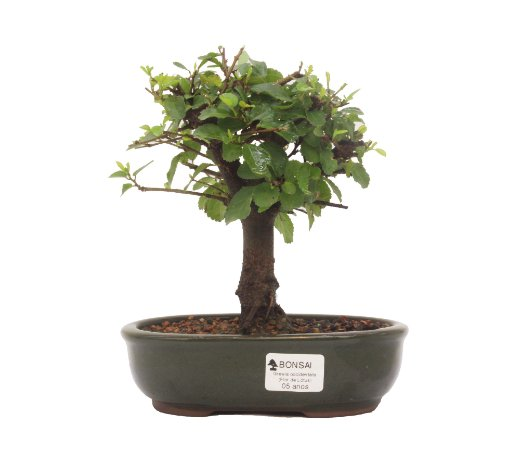 Bonsai de Grewia Occidentalis (Flor de Lótus) 5 anos (23 cm)