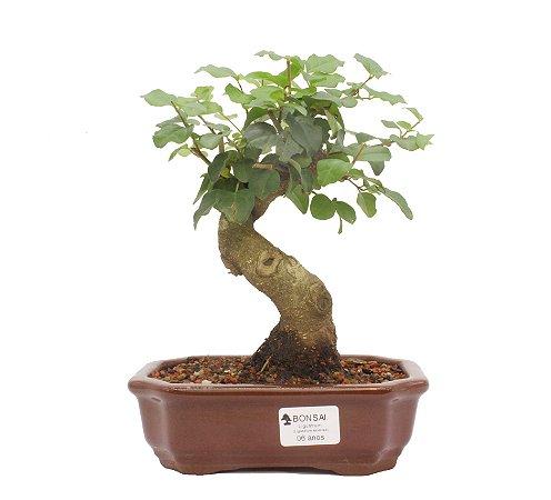 Bonsai de Ligustrinho 6 anos (25cm)
