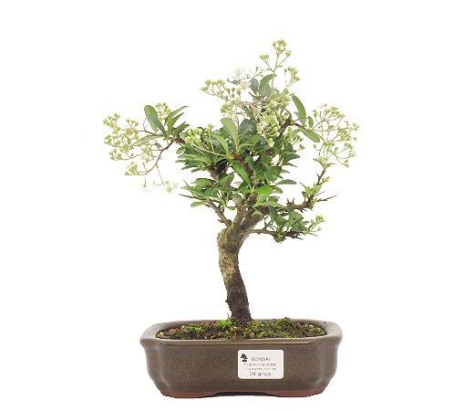 Bonsai de Piracanta Amarela - 4 anos ( 28 cm)