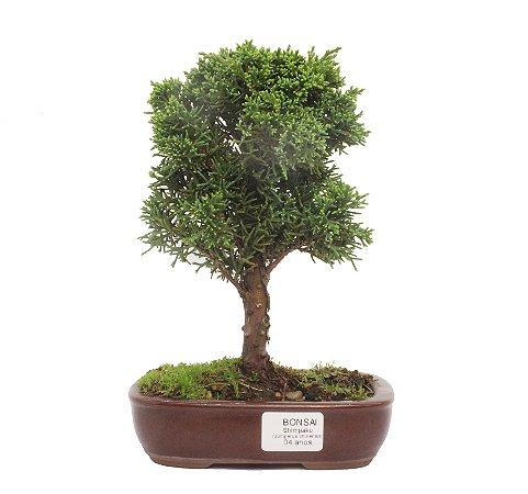 Bonsai de Junípero Shimpaku 4 anos (25 cm)