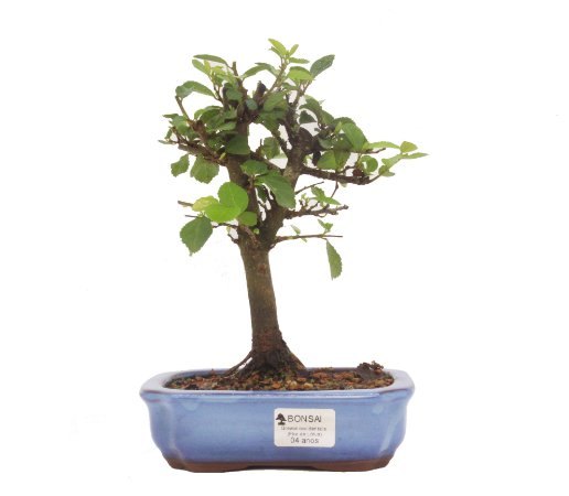 Bonsai de Grewia Occidentalis (Flor de Lótus) 4 anos (23 cm)
