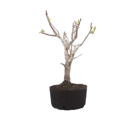 Pré Bonsai de Macieira Anã (Malus Everest) 8 anos - 50 cm - Frutificando