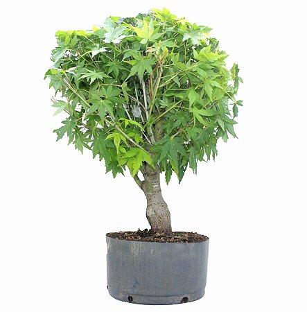 Pré Bonsai de Acer Palmatum ( Momiji ) 10 anos - 50 cm