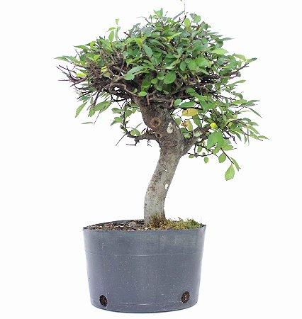 Pré Bonsai de Ulmus Parvifolia Com Movimento 5 anos (37 cm)