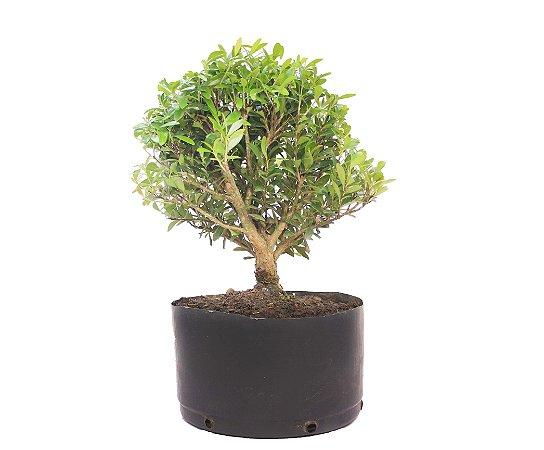 Pré Bonsai de Cereja Silvestre 4 anos ( 36 cm) Frutificando