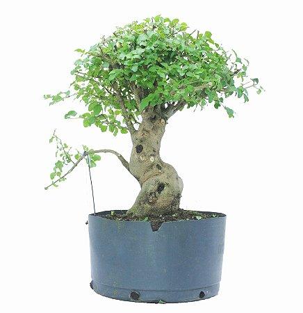 Pré Bonsai de Ligustrinho 10 anos (40 cm)