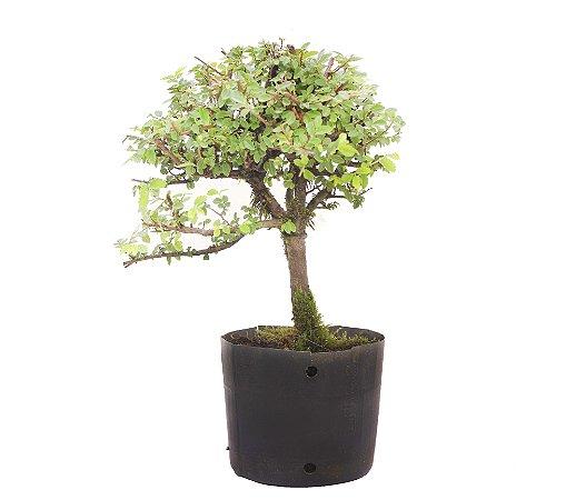 Pré Bonsai de Ulmus Parvifolia Com Movimento 2 anos (30 cm)