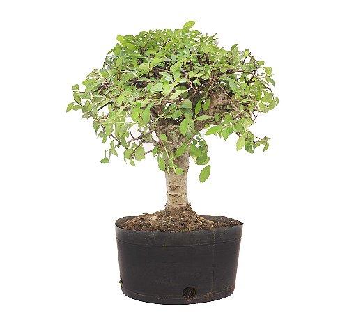 Pré Bonsai de Ulmus Parvifolia 4 anos (33 cm)