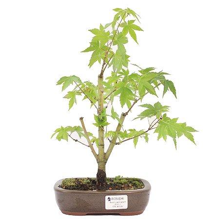 Bonsai de Acer Palmatum 4 Anos ( 30 cm)