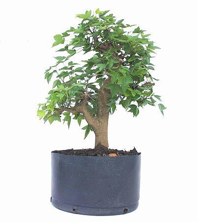Pré Bonsai de Acer Kaede (muda) 8 anos 45 cm