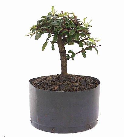 Pré Bonsai de Cotoneaster Apiculata - 2 anos ( 26 cm )