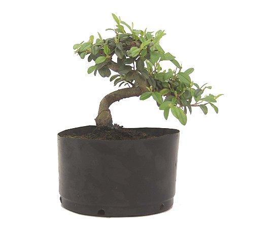 Pré Bonsai de Cotoneaster Apiculata - 2 anos ( 25 cm )