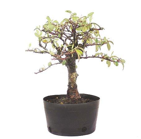 Pré Bonsai de Cotoneaster Apiculata 5 anos ( 34 cm )