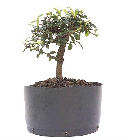 Pré Bonsai de Cotoneaster Apiculata 2 anos ( 25 cm )