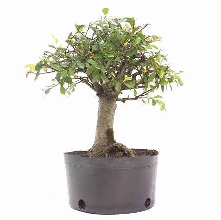 Pré Bonsai de Ulmus Parvifolia 4 anos (30 cm)