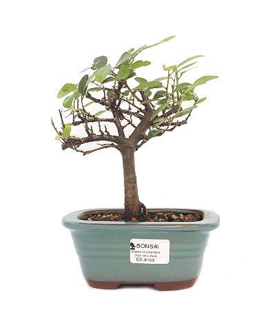 Bonsai de Grewia Occidentalis (Flor de Lótus) 3 anos (20 cm)