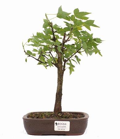 Bonsai de Acer Kaede 4 Anos ( 29 cm)