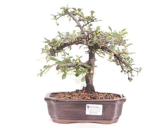 Bonsai de Cotoneaster Apiculata - 5 anos ( 26 cm )